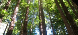 Redwoods thriving as climate changes – Press Democrat