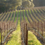 Herbicide-managed-rows-of-grape-monoculture-in-Annapolis