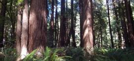 Gualala River floodplain redwood forest