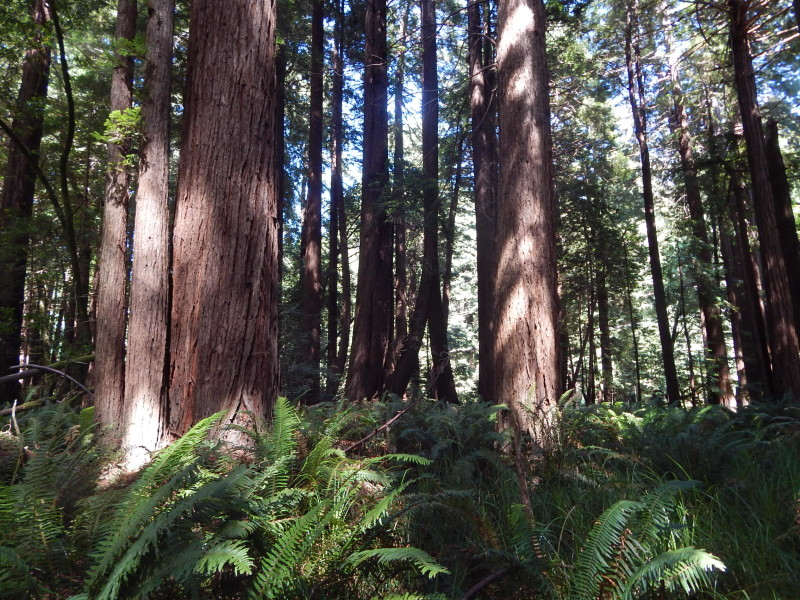 Gualala River floodplain redwood forest