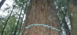 Dogwood logging plan tree marked for cut