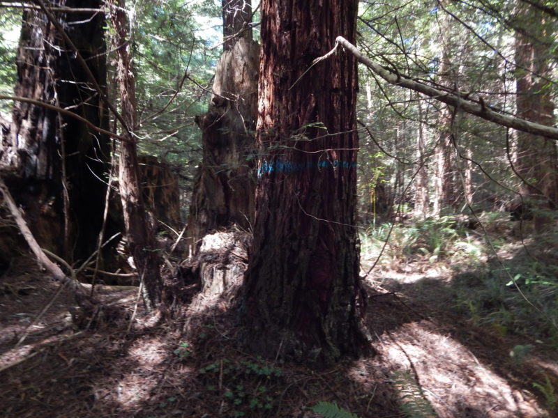 Dogwood riparian redwood marked for chainsaw - 5402