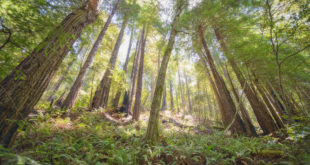 Redwood forest targeted for logging in Gualala River floodplain; Dogwood2
