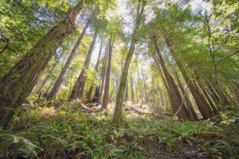 Redwood forest targeted for logging in Gualala River floodplain