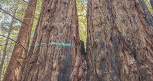 90-100 year old redwood tree marked for cutting in Gualala River floodplain; Dogwood4