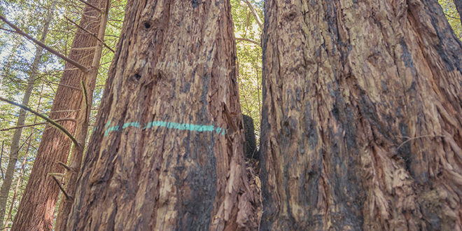 90-100 year old redwood tree marked for cutting in Gualala River floodplain; photo credit: copyright © 2016 Mike Shoys, used with permission
