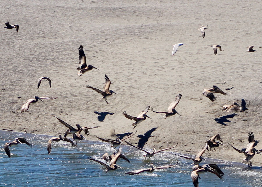 Brown Pelicans coming in for a landing in the Gualala River - by Steve Coffey-Smith