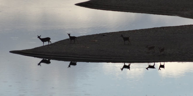 Deer reflected in the Gualala River - by Rick Denniston