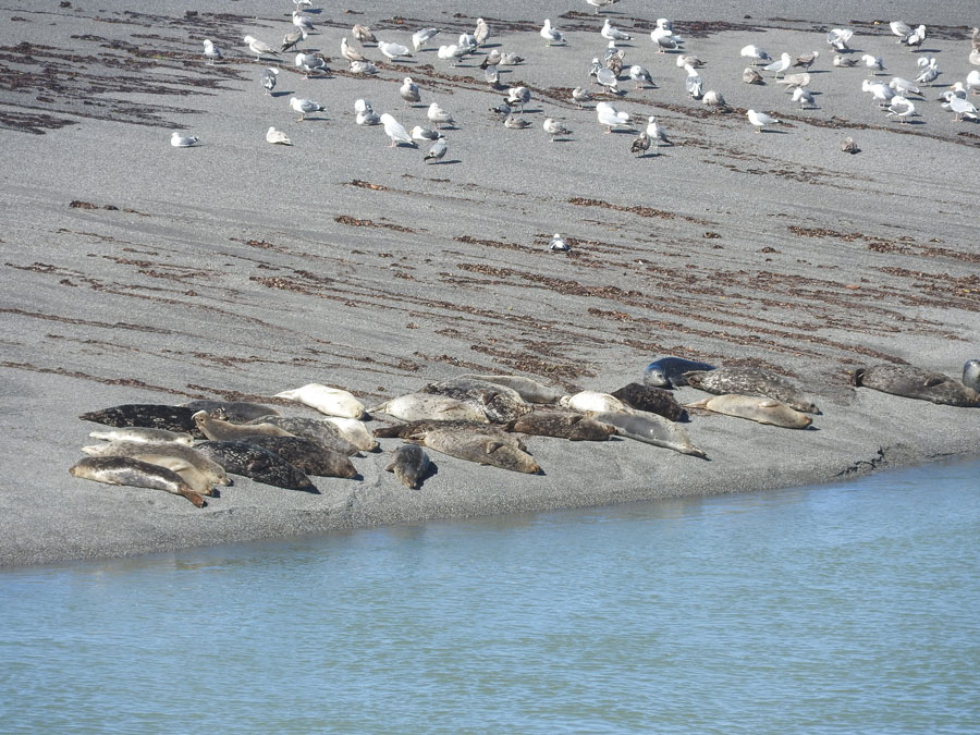 Harbor Seals hauled out on the sandbar of the Gualala River - by Jeanne Jackson