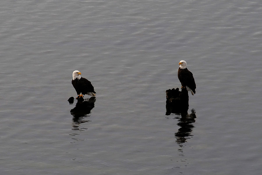 Two adult Bald Eagles at the Gualala River - by Ken Bailey