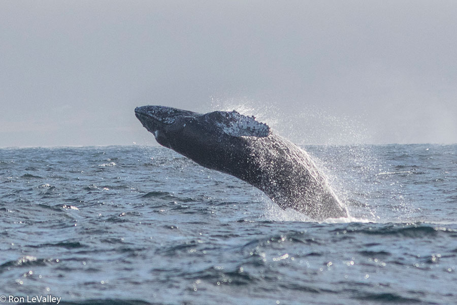 A Humpback Whale breaches, by Ron LeValley