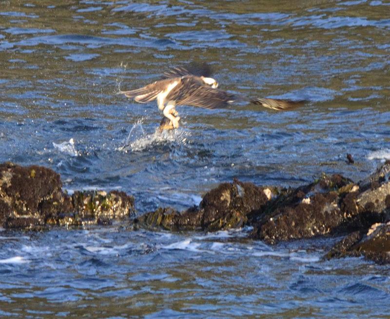 An Osprey snags a fish by John Batchelder