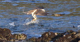 An Osprey snags a fish, by John Batchelder