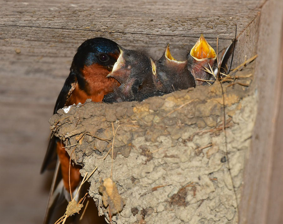 Barn Swallow feeding its chicks, by Allen Vinson