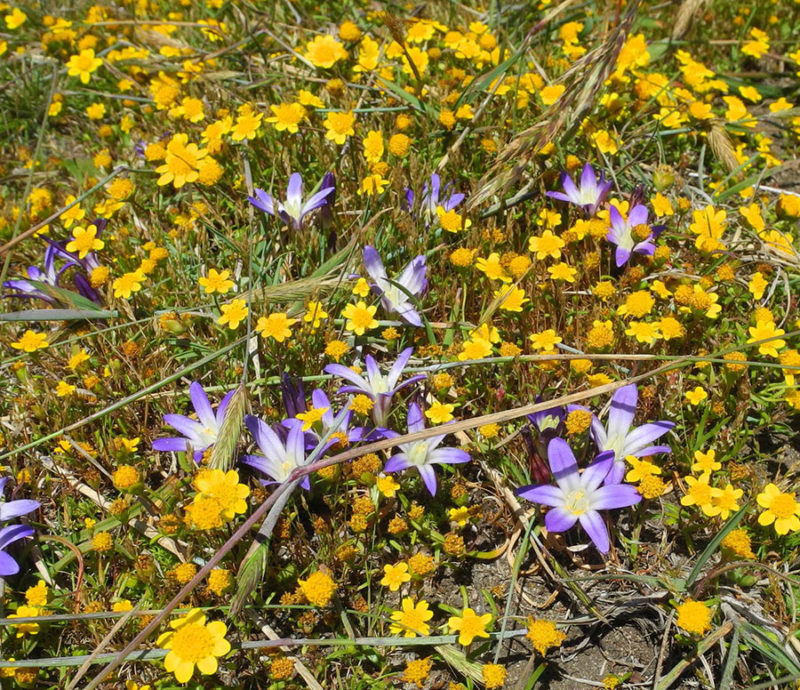CA Goldfields and Earth Brodiaea, Mary Sue Ittner