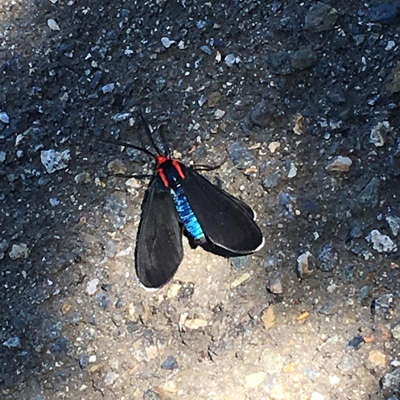 Ctenucha multifaria Moth, by Harmeet Dhillon