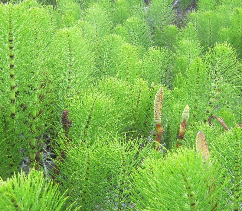 Horsetails, equisetum, by John Sperry