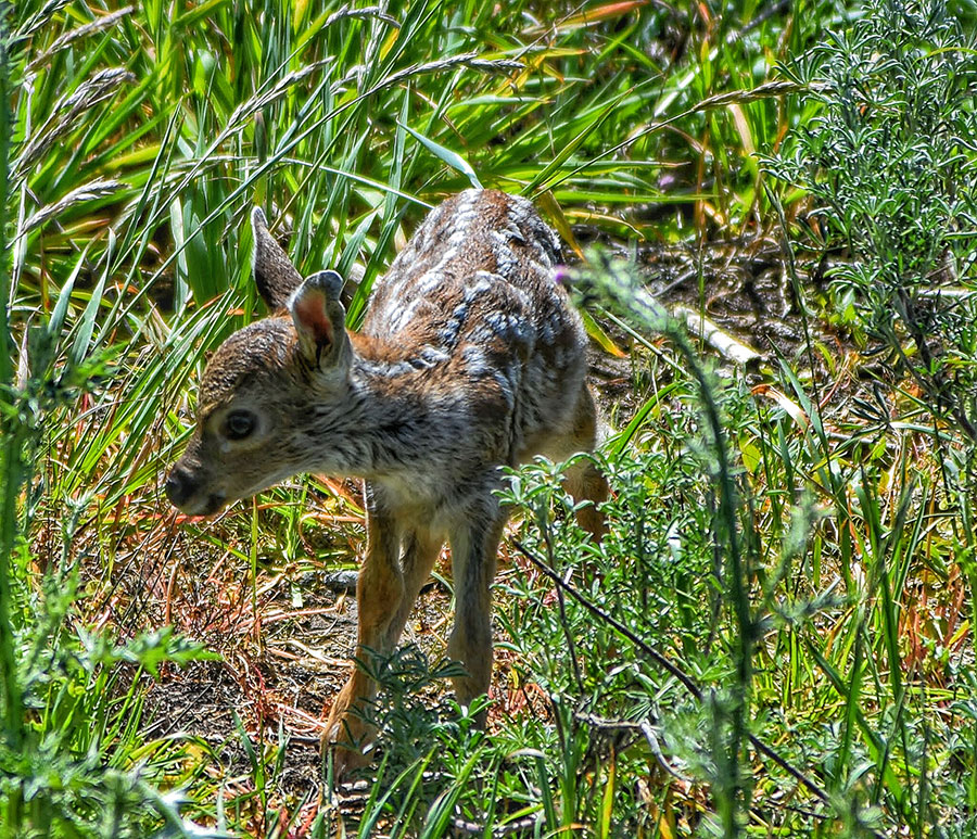 Newborn Fawn, by Michael Beattie