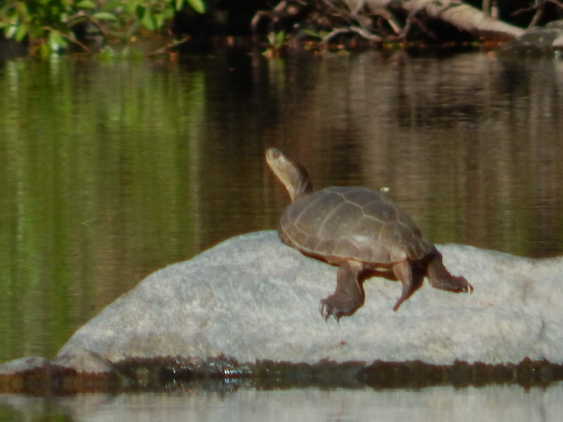 Old Western Pond Turtle, by Peter Baye