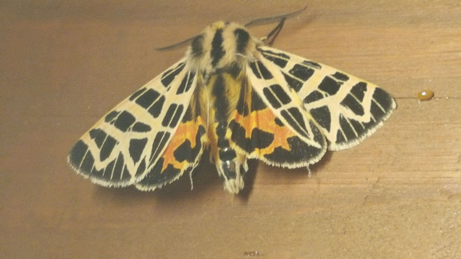 Ornate Tiger Moth, Grammia ornata, by Tricia Schuster