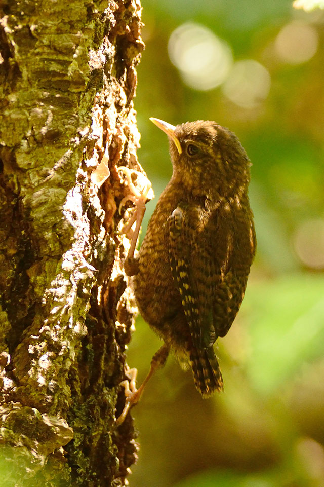 Pacific Wren fledgling, by John Batchelder