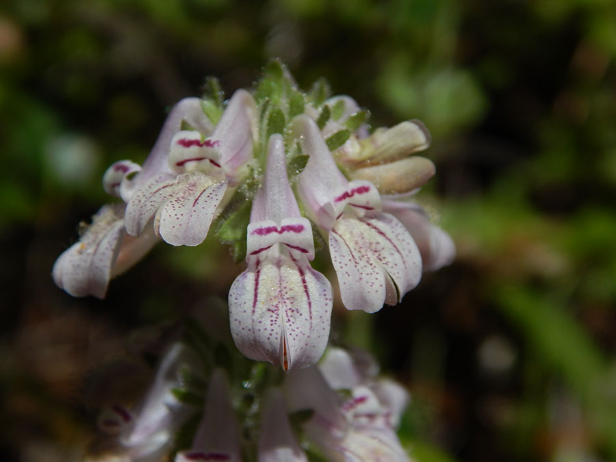 Sticky Chinese Houses, Collinsia tinctoria, by Peter Baye