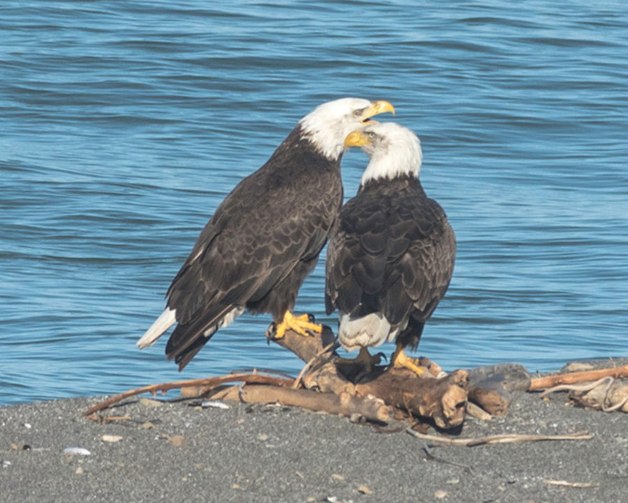 Two Bald Eagles at the Gualala River, by Chris Beach