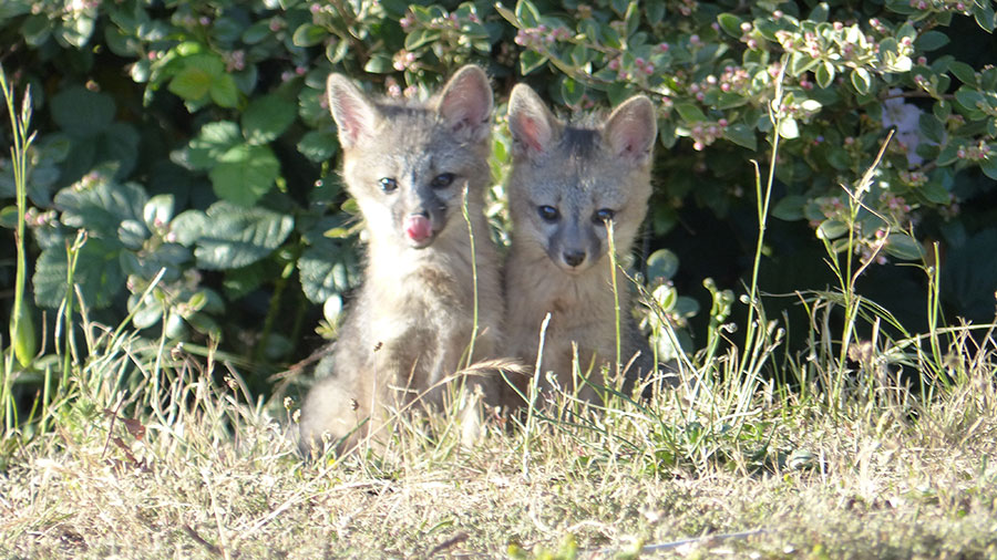 Two Gray Fox kits, by Marie De Santis