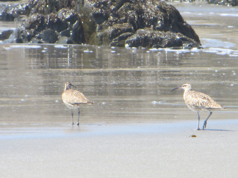 Whimbrels, by Carolyn Case