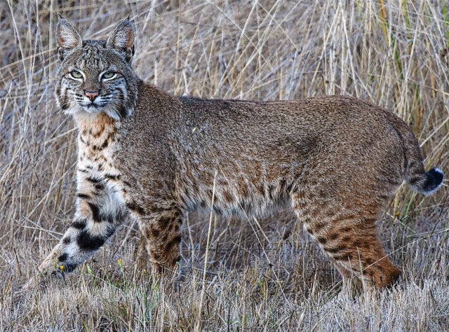 Bobcat, by Allen Vinson