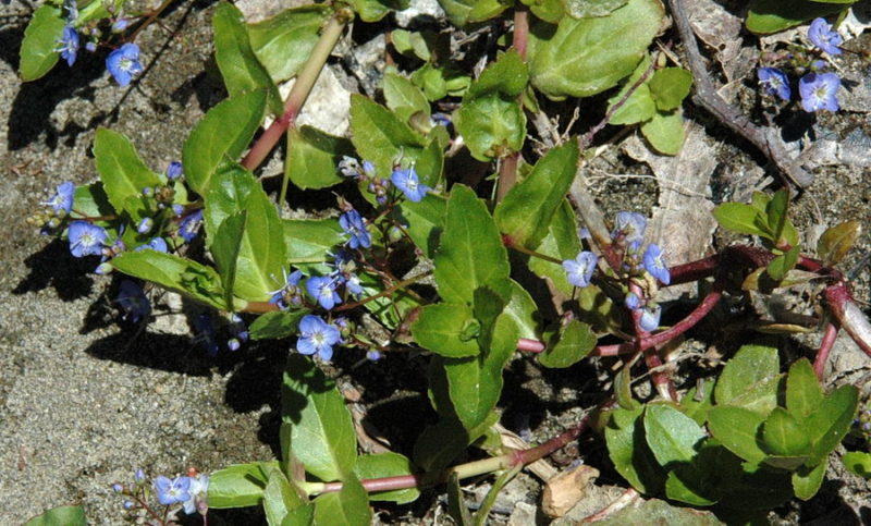 Brooklime (Veronica americana), by Mary Sue Ittner.jpg