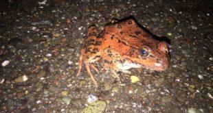 California Red-legged frog, by Roberta Chan
