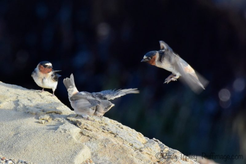 Cliff Swallow fledgling with its parents, by Craig Tooley