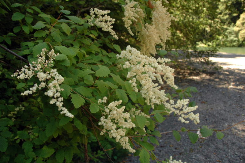 Cream Bush (Holodiscus discolor), by Bob Rutemoeller
