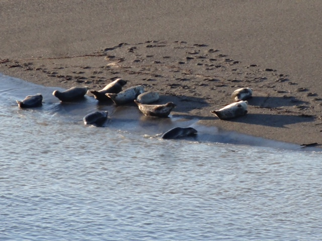 Harbor Seals hauled out on the sandbar of the Gualala River, by Rick Denniston