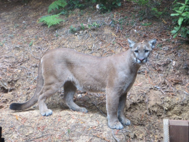 Mountain Lion, by Cece Case