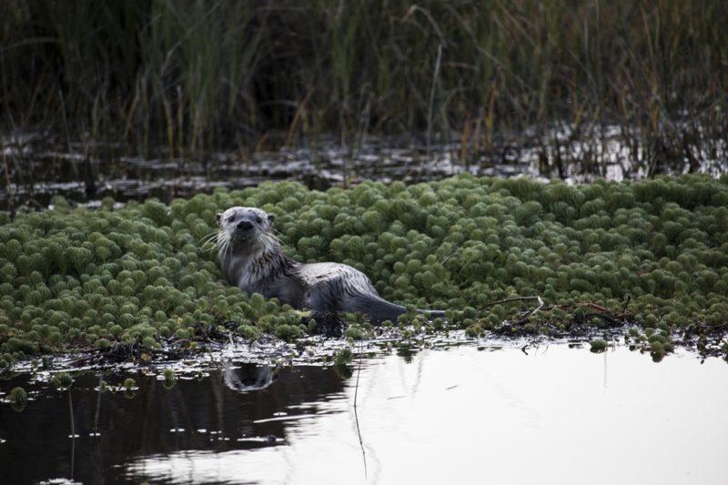 River Otter, by Dennis Latona