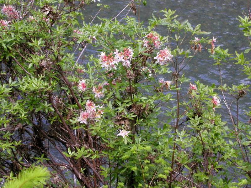 Western Azalea (Rhododendron occidentale), by Bob Rutemoeller