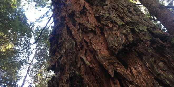 1. Coast Redwood Reaching for the Light