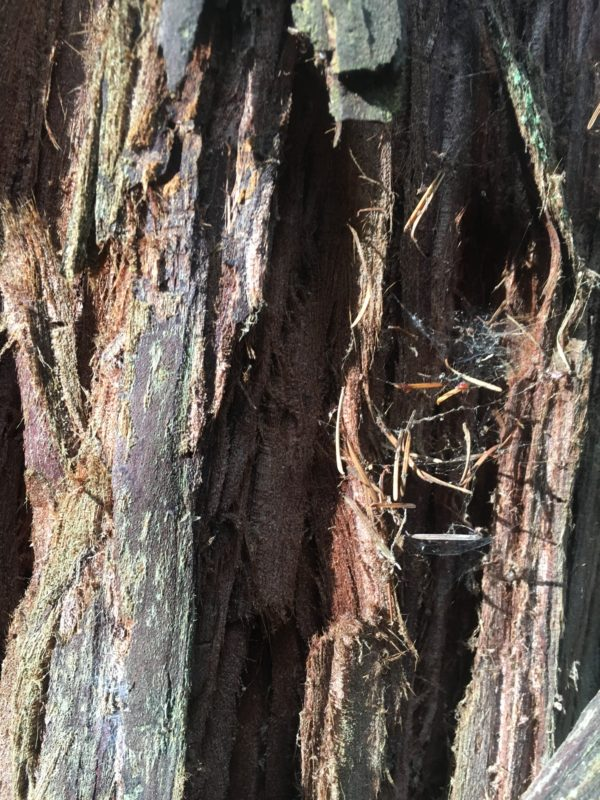 11. Thick Fibrous Bark Protects the Tree from Fire and Pests
