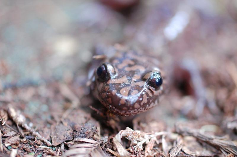 15a. California Giant Salamander (Dicamptodon ensatus)