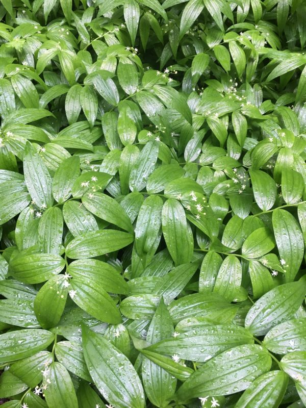 18. A Carpet of Star Solomon Seal (Maianthemum stellata)