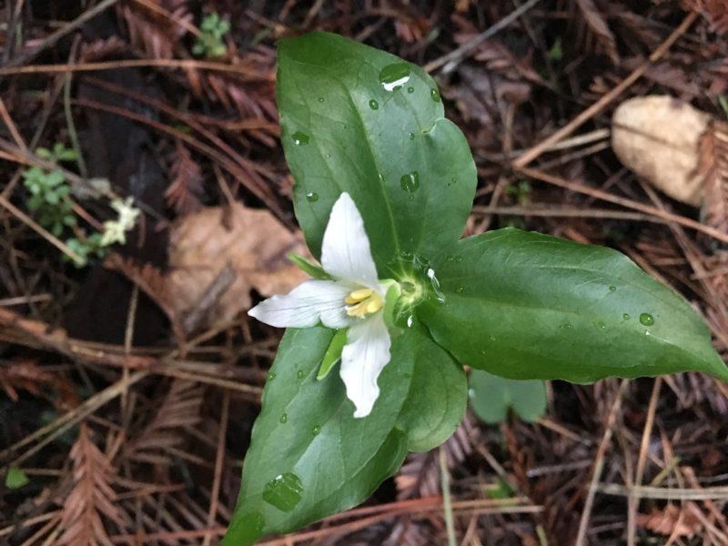 21. Western Trillium (Trillium ovatum)