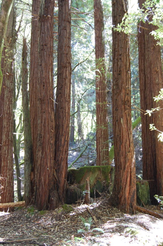 8. Old-growth Redwood Stump with Clones