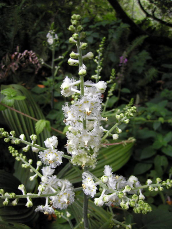 Flowering Fringed Corn Lily (Veratrum fimbriatum), by Bob Rutemoeller