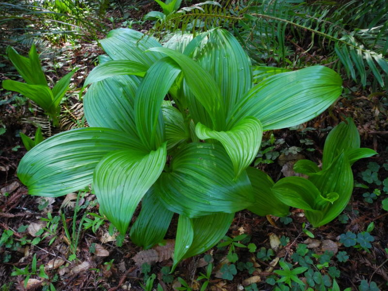 Fringed Corn Lily – only in Mendocino and Sonoma Counties (Veratrum fimbriatum), by Mary Sue Ittner