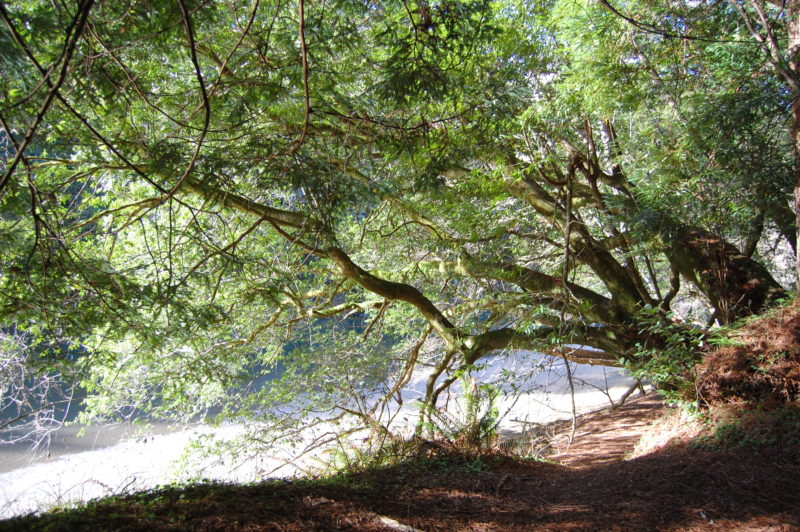 14. Limbs Lengthen and Thicken As They Extend Out Over the Water