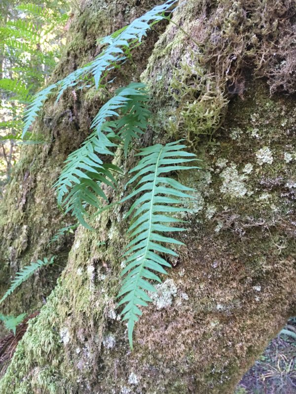 23. Mosses, Lichens and Polypody Ferns Grow on the Bark of the Bay
