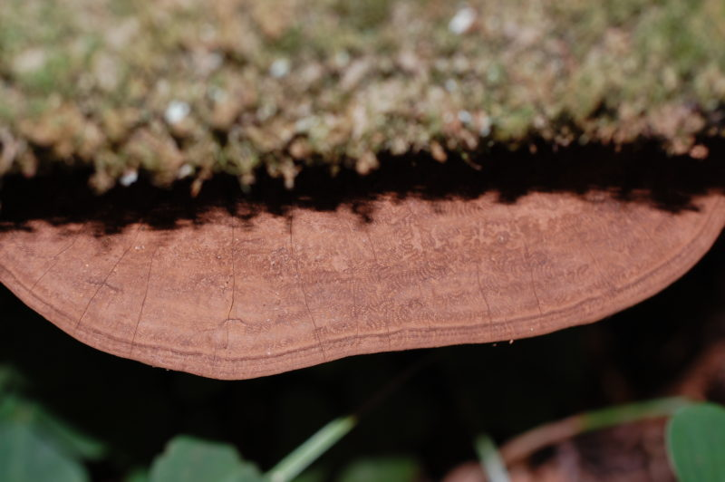 25. Shelf Fungus Protruding From Bay Log