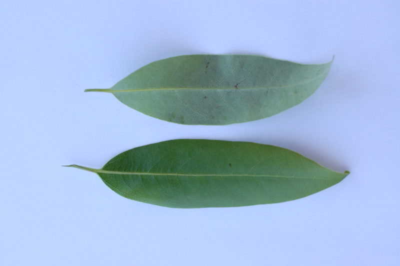 3. Underside (top) and Upper side (bottom) of Bay Leaves
